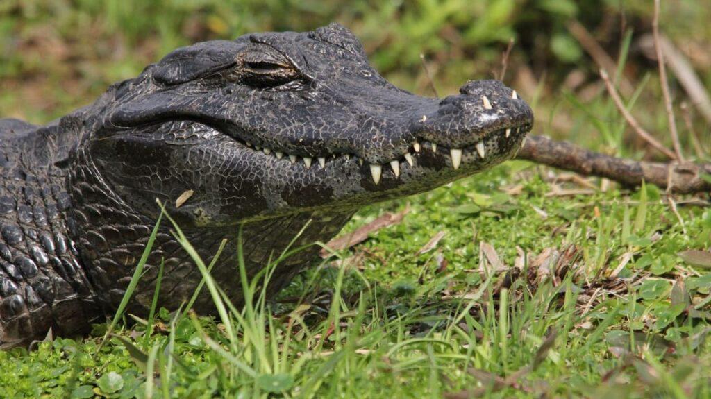 dientes de caiman