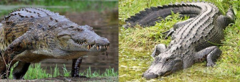 diferencia piel cocodrilo y caiman