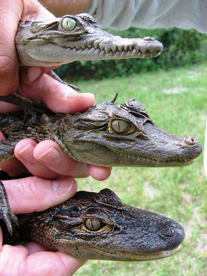 diferencias entre cocodrilo y caiman y lagarto
