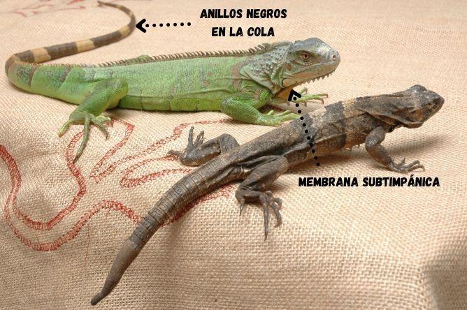diferencias entre iguana verde e iguana del caribe