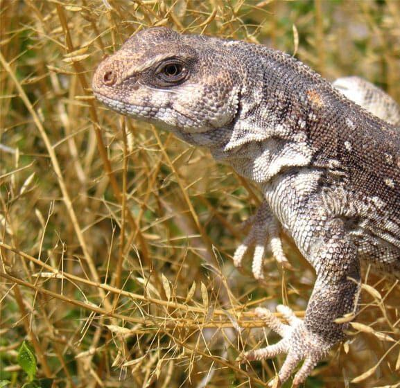 iguana dipsosaurus