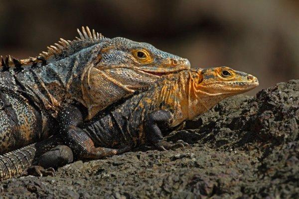 dos iguanas juntas