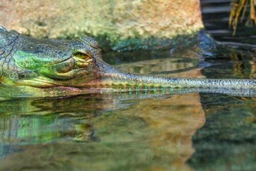 gavial dentro del agua
