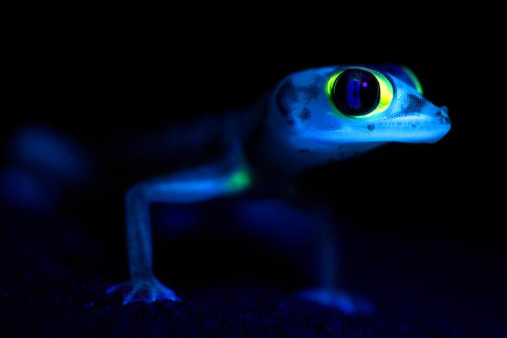 gecko brilla de noche