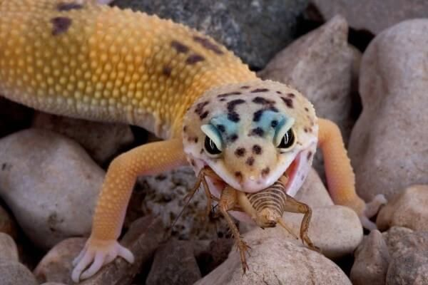 gecko comiendo