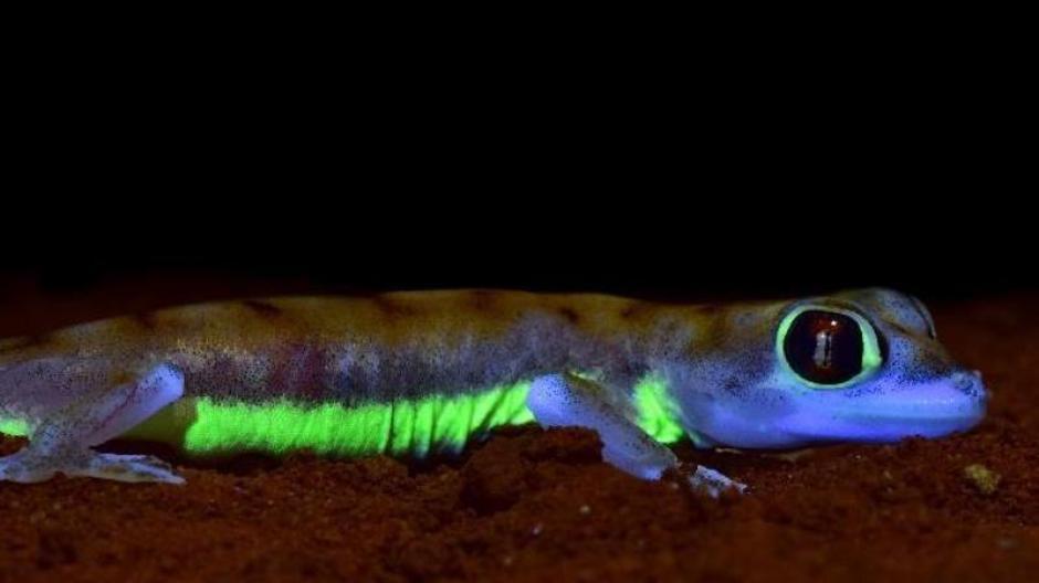 gecko de colores fluorescentes