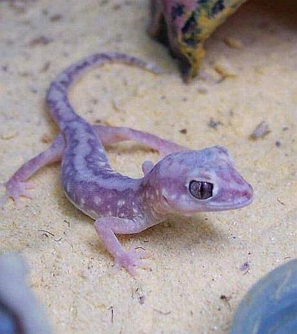 gecko morado