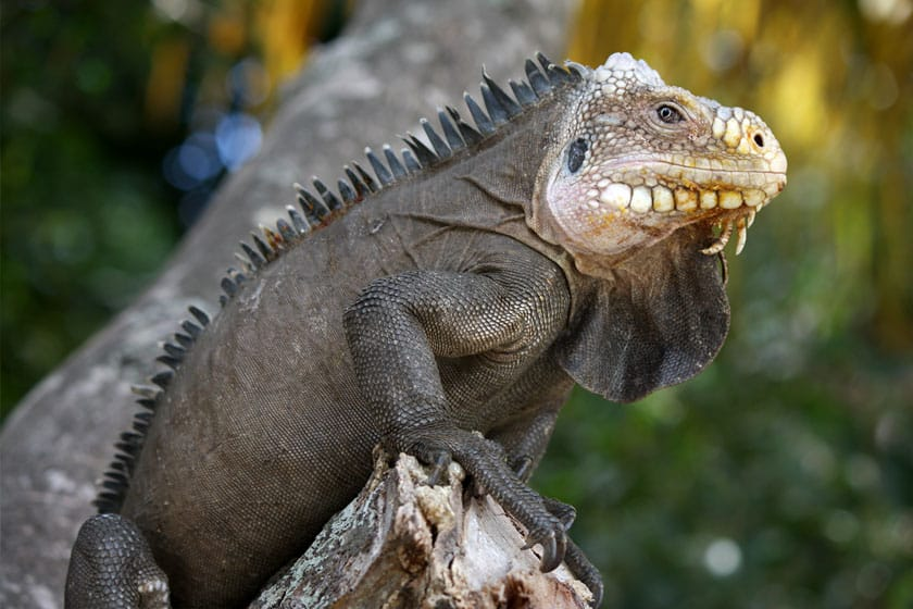 Iguana del Caribe adulta