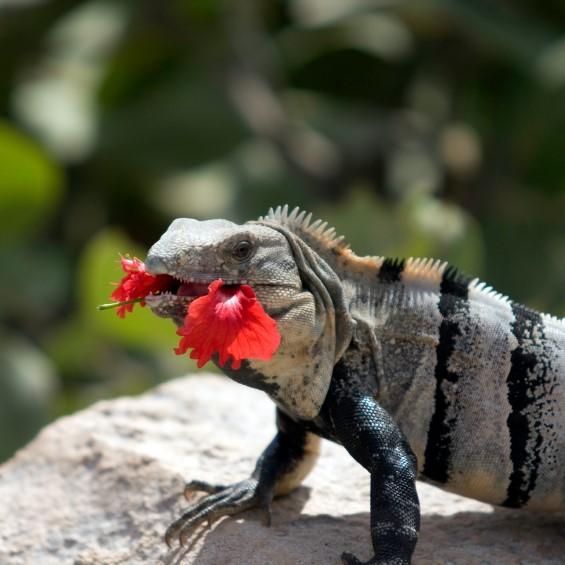 iguana comiendo