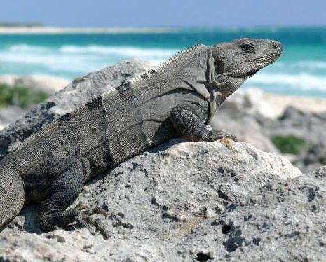 iguana del caribe sobre roca