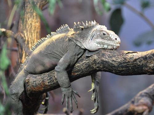 iguana del caribe sobre rama de arbol