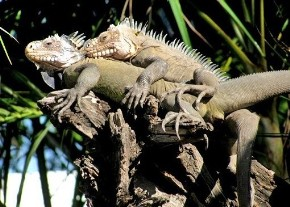 iguana-delicatissima reproducion