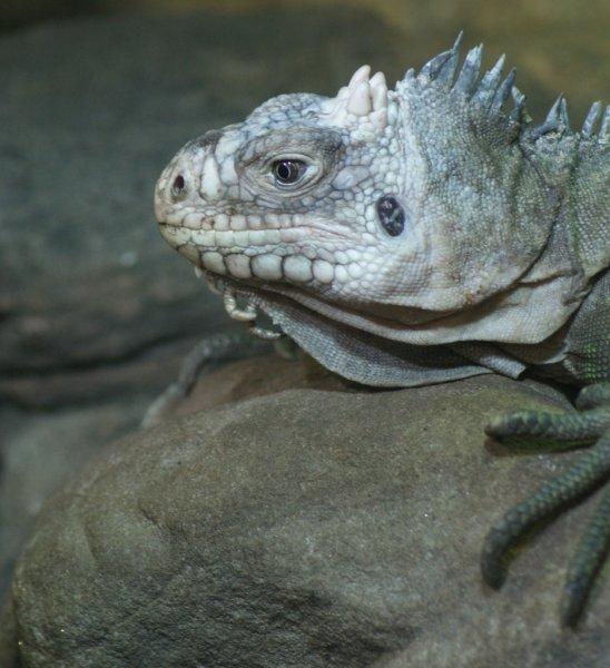 iguana delicatissima sobre piedra