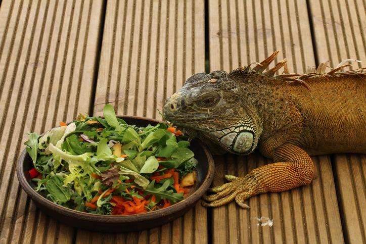 iguana verde comiendo