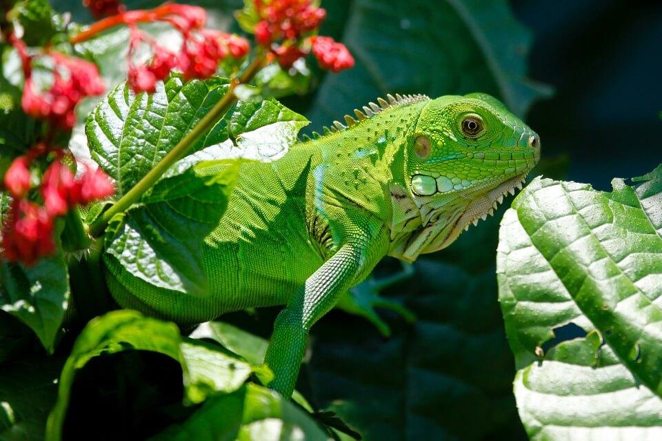 iguana verde comun