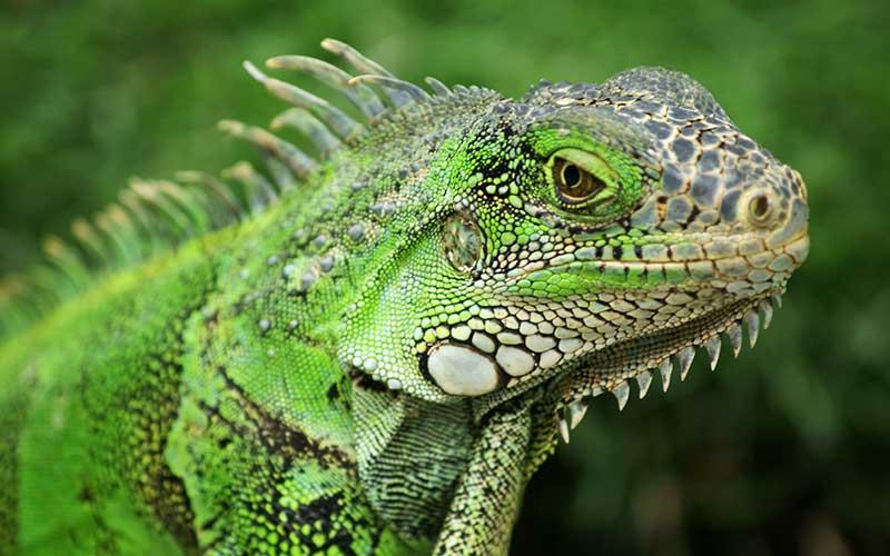 iguana verde de cerca