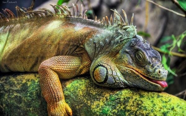 iguana verde durmiendo sobre la rama de un arbol