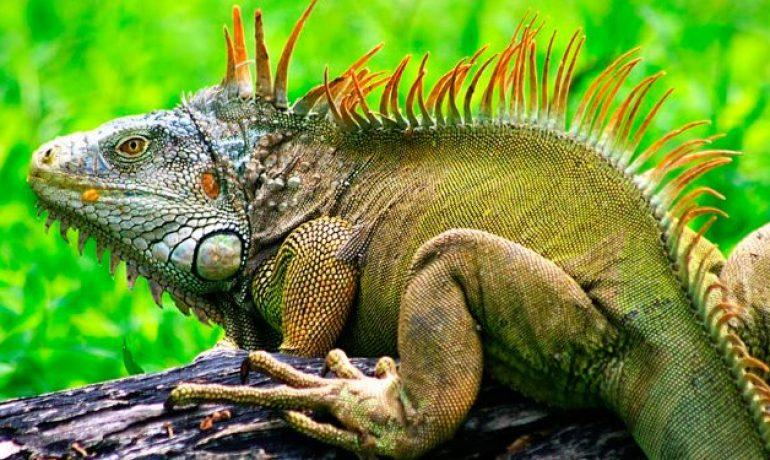 iguana verde vista de lado
