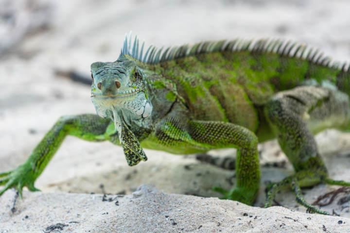 iguana verde sobre la arena