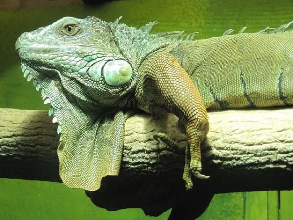 iguana verde sobre rama de árbol