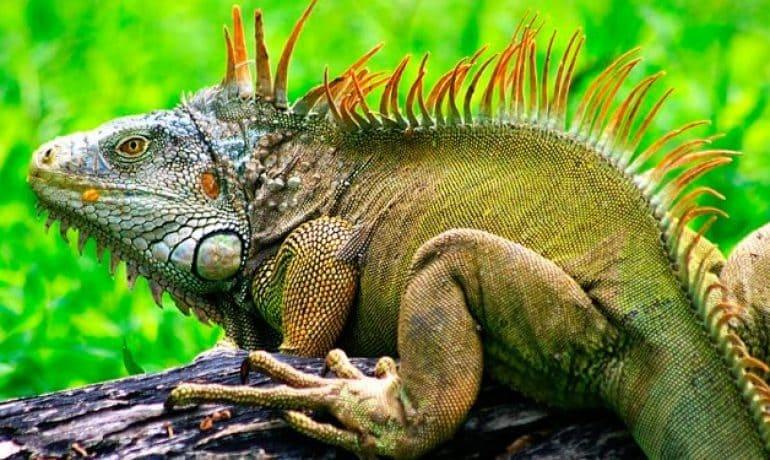 iguana verde sobre rama