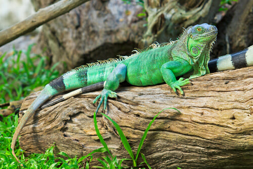 iguana verde tumbada sobre tronco de arbol