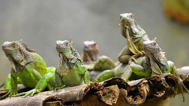 iguanas verdes juntas en Florida
