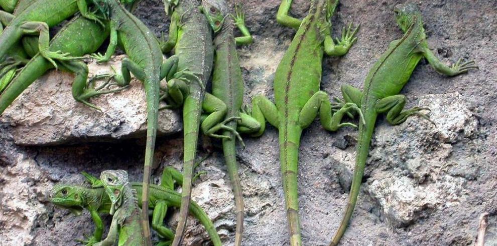 iguanas verdes escalando por pared de rocas
