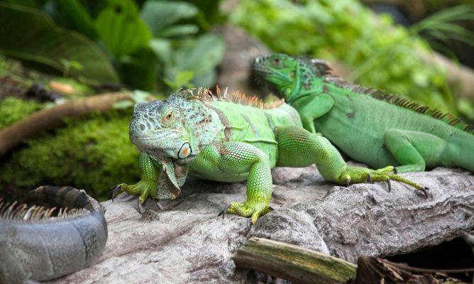 iguanas verde juntas en la selva