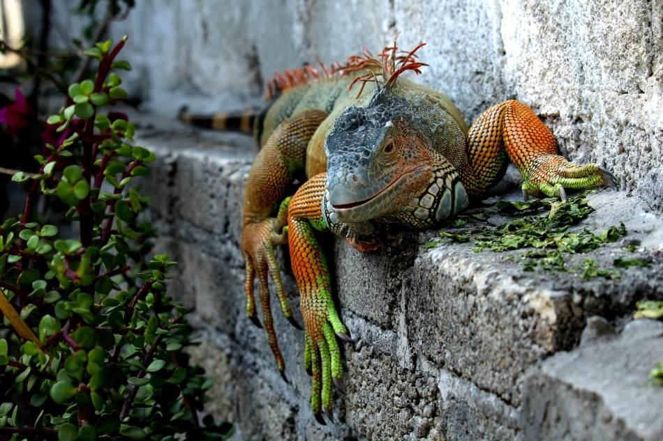 las-iguanas-cambian-de-color