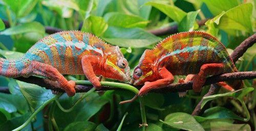 pareja de camaleones pantera
