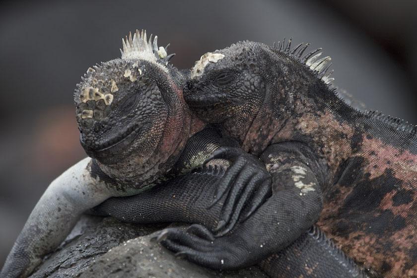pareja-iguanas-marinas-macho-hembra