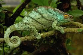 camaleon de parson