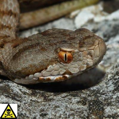 serpientes venenosas españa