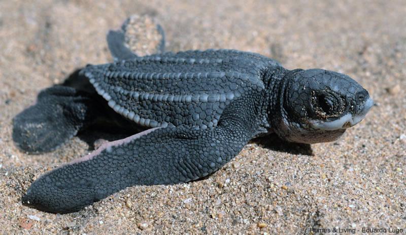 cria de tortuga laud en la arena