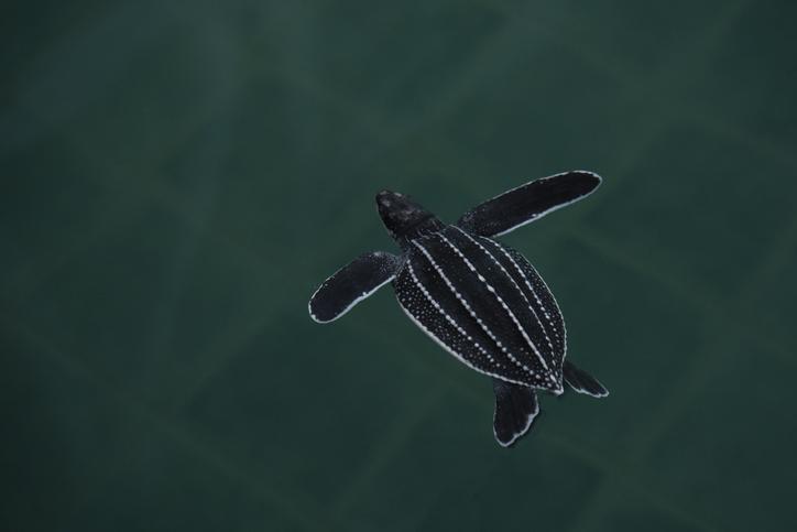 cria de tortuga laud nadando
