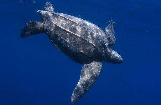 tortuga laud en el mar nadando