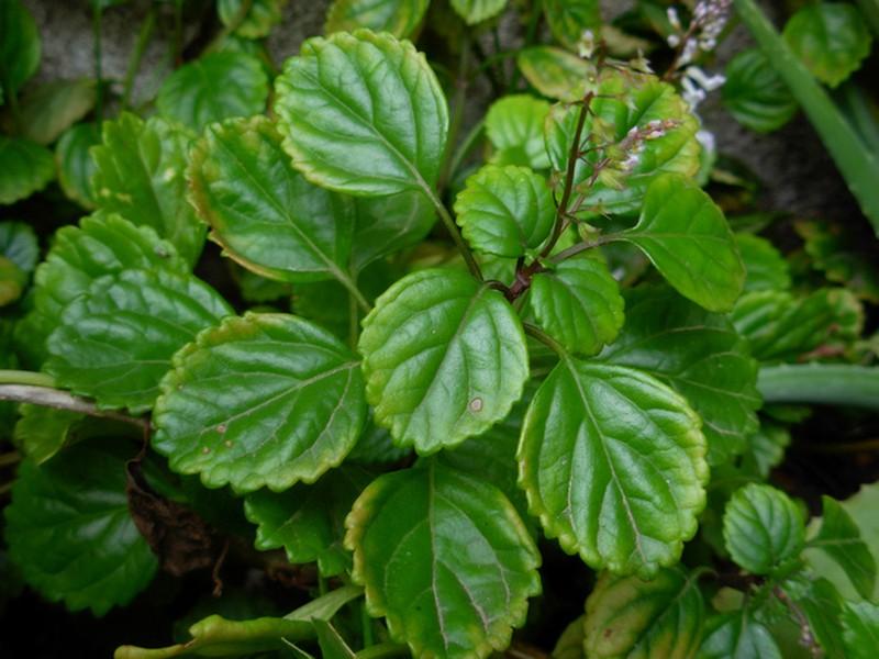 """Plectranthus verticillatus (""""Planta del dinero"""")"""
