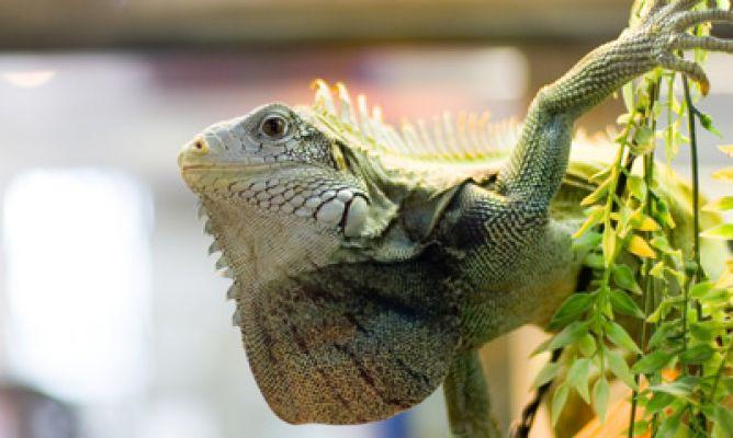 foto de iguana de cerca
