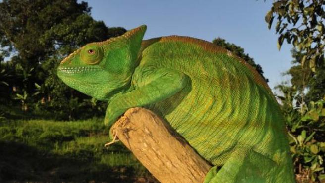 camaleon verde