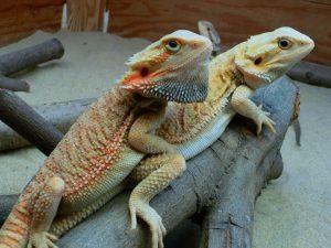 dragones barbudos juntos