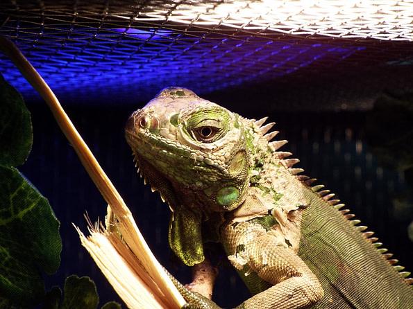 iluminacion iguanas