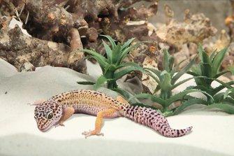 gecko en terrario