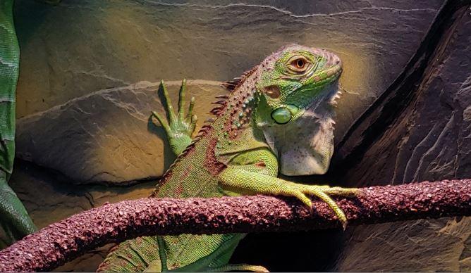iguana en terrario