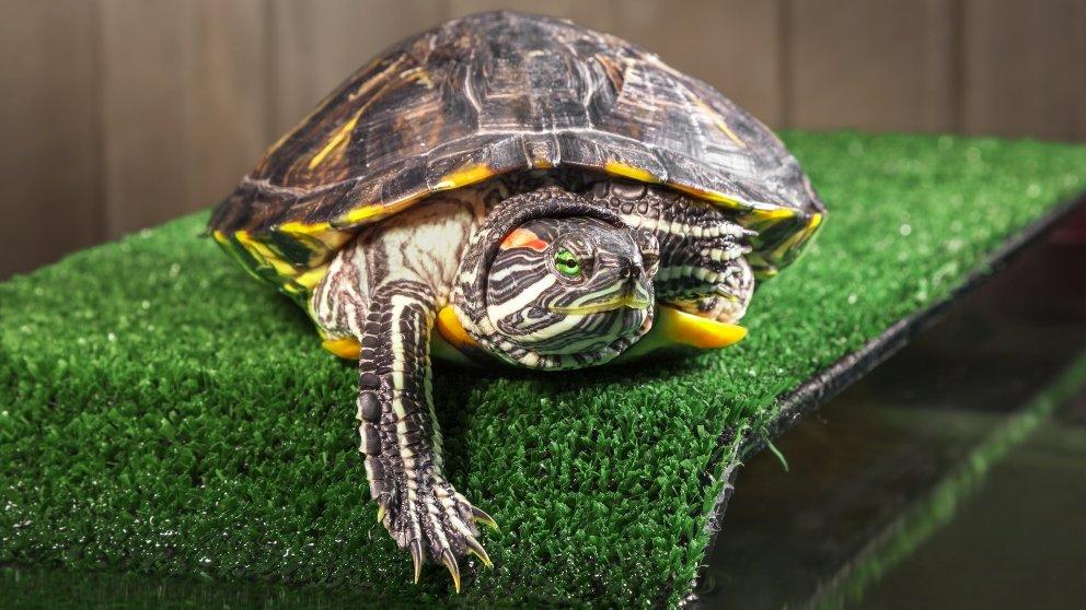 tortuga de agua dulce sobre cesped