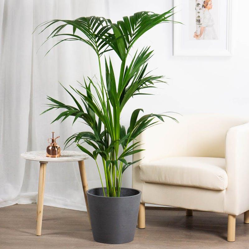kentia planta